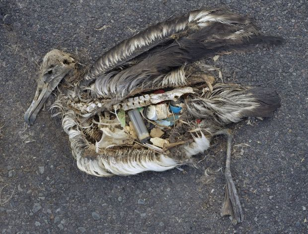 Stomach Contents of Dead Albatross