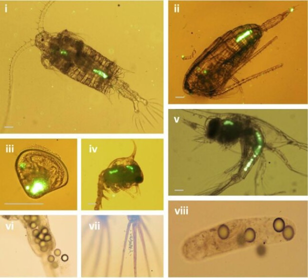 Micro-plastics ingested by species at the bottom of the food chain which are then in turn consumed by larger predators (ref. Mathew Cole. 2013)