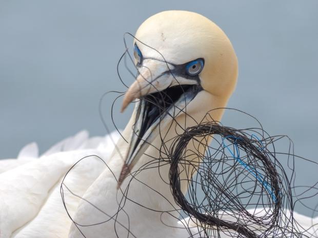Gannets on Heligoland with Plastic WasteBasstoelpel auf Helgoland mit Plastikmuell