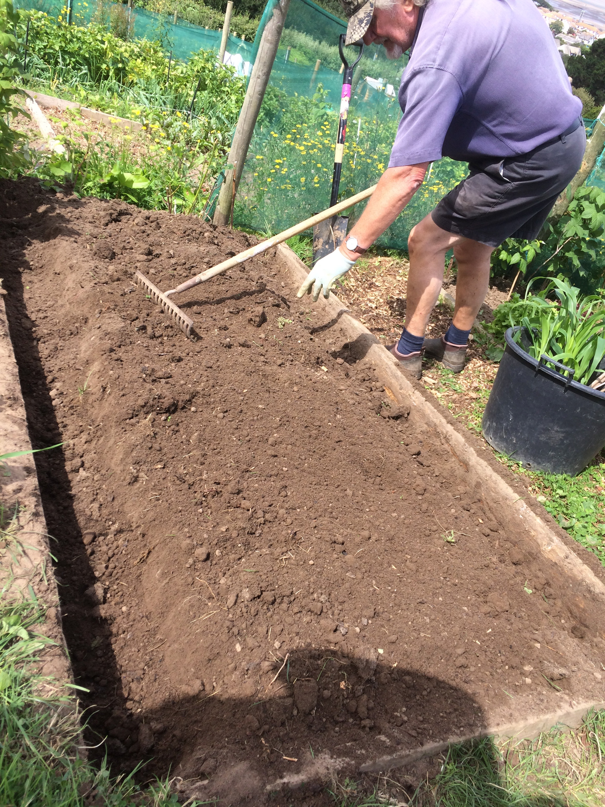 Allotment growing potatoes