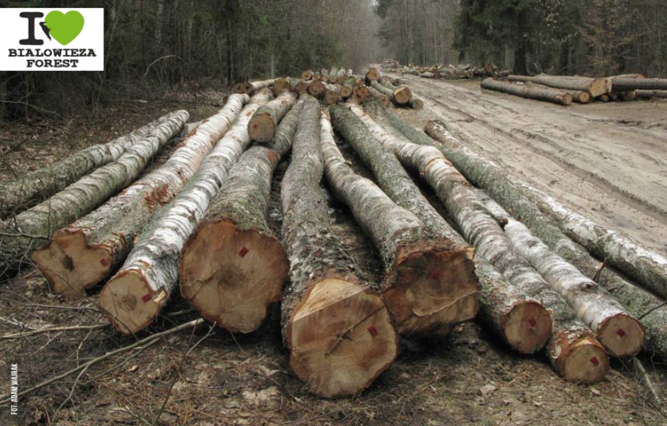 Bialowieza Forest logging