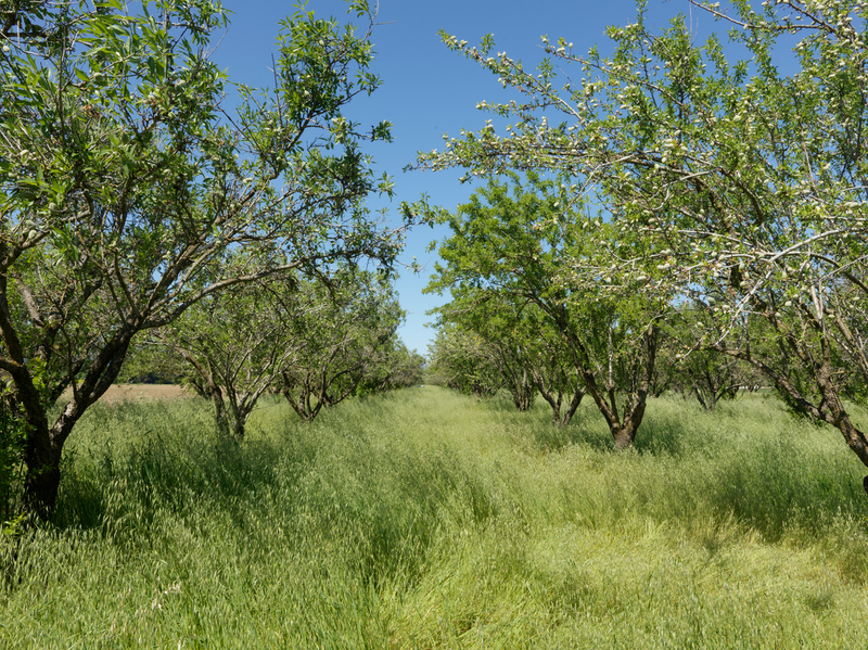 orchard at Say Hay Farm in California